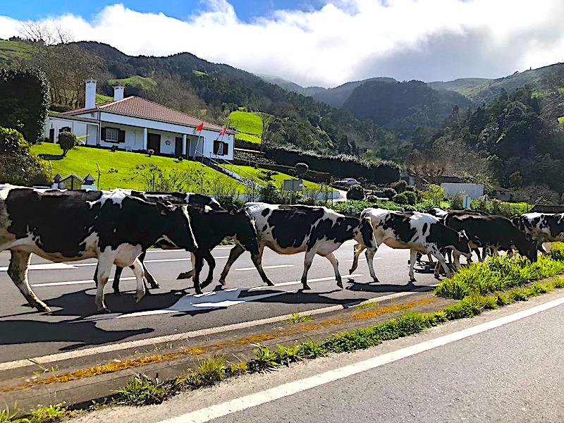 Cows-Crossing-Road-Sao-Miguel-Azores