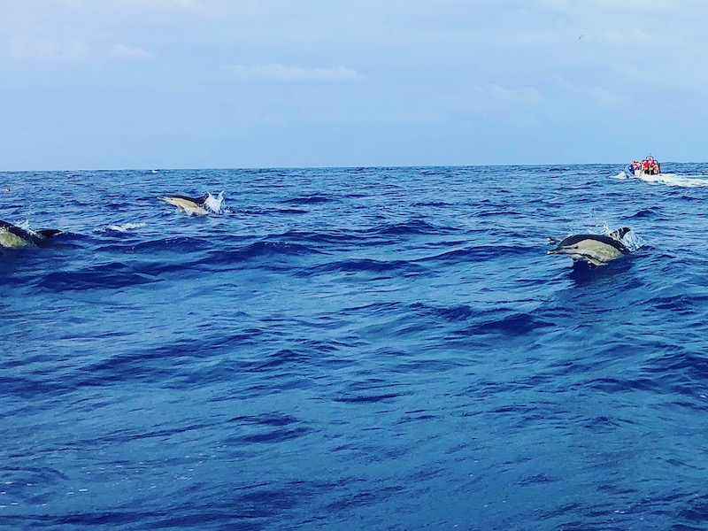 Azores-Sao-Miguel-Dolphin Viewing-During-Whale-Watching