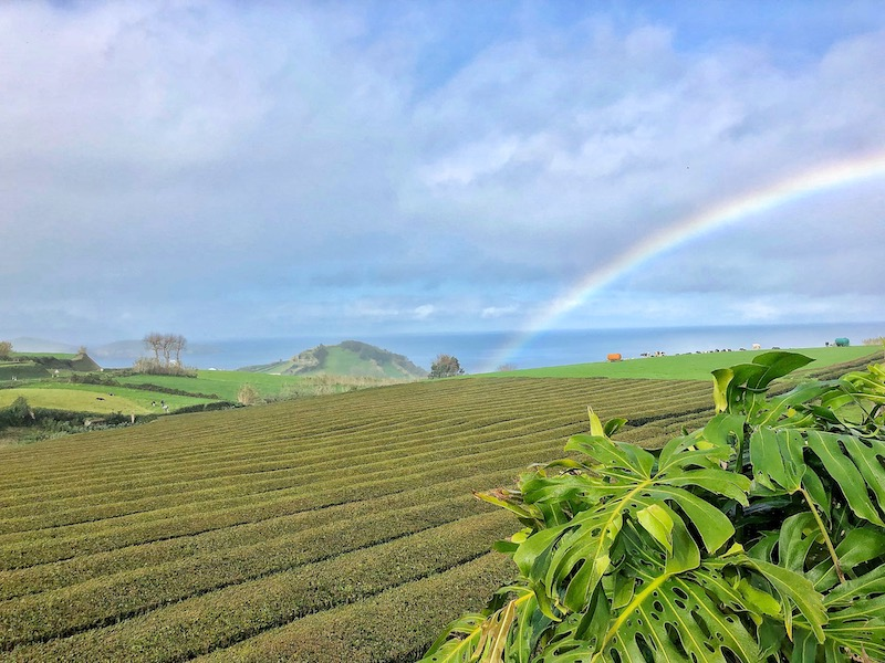 Best-Time-to-Visit-Azores-Sao-Miguel-Rainbow-Tea-Plantation