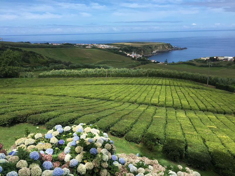 Azores-Weather-in-September-Sao-Miguel-Tea-Plantation-Hydrangeas
