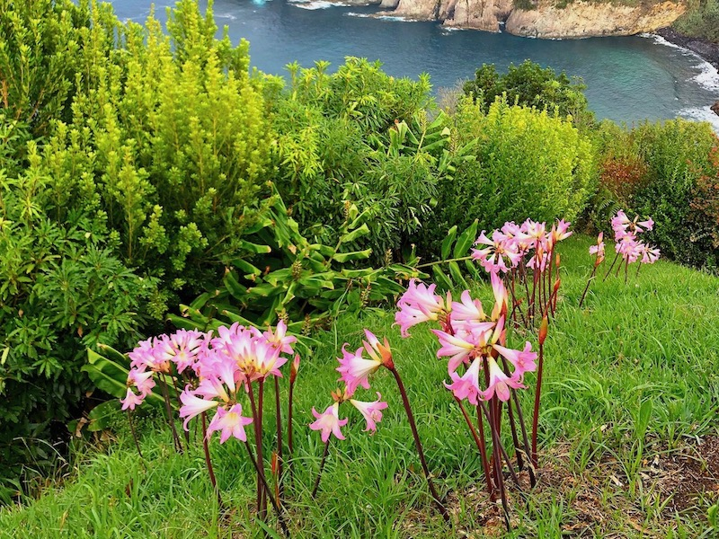 Naked-Ladies-Flowers-Ribeira-Grande-Sao-Miguel-Azores