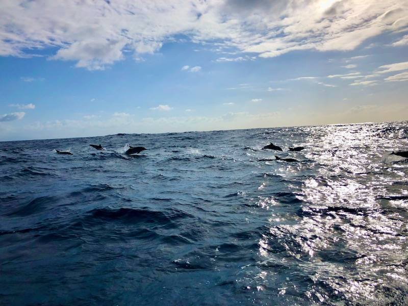 Sao-Miguel-Azores-Whale-Watching-Dolphins